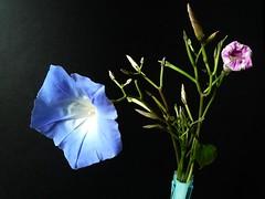 ipome (peltier patrick) Tags: flowers autumn flower macro nature fleur rose fleurs automne plante garden petals berry lumire jardin vert petal bleu vase buds bouquet couleur ptale bouton boutons tige ptales ipome enroulement boutonfloral peltierpatrick ipomebleue