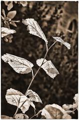 Leaves of Silver (Mike Goldberg) Tags: monochrome leaves jerusalem backlighting mikegoldberg nikond90