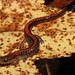 Ozark Zigzag Salamander (Plethodon augusticlavius)