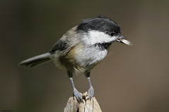 Where Can I Eat This? (Diane Marshman) Tags: white black bird nature face up birds fence dark neck eyes close post head pennsylvania wildlife side tail small birding gray beak feathers picture seed belly pa cap chickadee sunflower oil weathered throat northeast capped northeastern sides