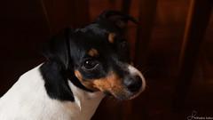 Costelinha (phdsales) Tags: dog pretty cachorro thinking pensativa costelinha