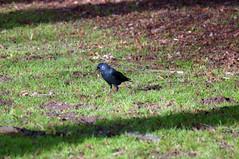 Jackdaw (Bruce Stokes) Tags: bird animal coventry jackdaw coombeabbey sonya37 2014birdchallenge