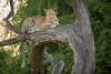 Early Morning Leopard ([[BIOSPHERE]]) Tags: africa tree cat golden big 5 southern spots leopard botswana choberiver chobenationalpark