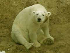 Anoki (ak82984) Tags: polarbear baltimorezoo marylandzoo anoki themarylandzooinbaltimore