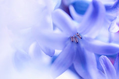 Blue Hyacinth (j man.) Tags: life lighting blue friends light white flower macro art texture nature floral colors beautiful closeup composition lens photography petals high cool focus key flickr dof artistic blossom bokeh pov background sony details favorites clarity blurred 11 depthoffield pointofview sp ii views di if f2 tamron comments ld slt hyacinth jman macrophotography ruleofthirds af60mm mygearandme flickrbronzetrophygroup a65v