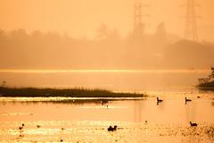Golden Lake (InfiniteFokus) Tags: sun sunlight india lake beautiful silhouette sunrise lights golden landscapes shadows earlymorning ducks chennai minimalsim 6oclock incredibleindia