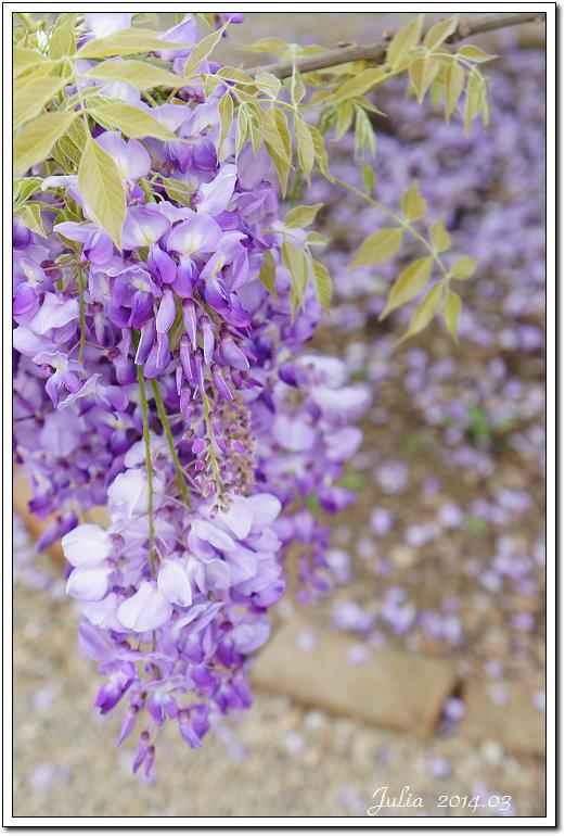 紫藤、老梅 (42)