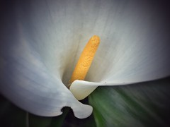 Calla Lily (shollingsworth) Tags: flowers fineartphotography hollingsworth spring iphoneography lily calla stephenhollingsworth white yellow macro delicate