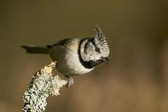 Crested Tit (J J McHale) Tags: crestedtit lophophanescristatus nature scotland highlands wildlife