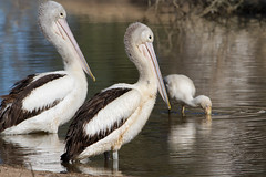 Australian Pelican (Pelecanus conspicillatus) (Ian Colley Photography) Tags: australianpelican pelecanusconspicillatus augathella queensland bird 500mm