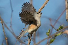 Tufted Titmouse 3-29-2017-9 (Scott Alan McClurg) Tags: animalia aves bbicolor baeolophus chordata neoaves neognathae neornithes paridae passeri passerida passeriformes animal bird bokeh flap flapping flickrbirds flight fly flying forest life nature naturephotography perch perching portrait songbird spring suburbs titmouse tree tufted tuftedtitmouse wild wildlife yard