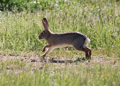 Prairie hare on the run (Victoria Morrow) Tags: dailyrayofhope droh