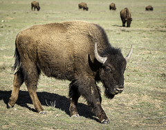 90246936920-87-American Bison-3 (Jim There's things half in shadow and in light) Tags: 2017 america canon5dmarkiv march southwest unitedstates utah outdoors bison buffalo animal wild wildlife canon70200lens beast hornds