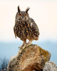 Búho Real (www.jorgelazaro.es) Tags: hontzahandia strigidae búhoreal aves pico pájaros autóctonas duc buforeal naturaleza pájaro fauna bubobubo eagleowl pluma