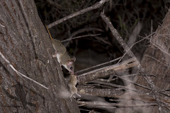 Red-tailed Phascogale - Phascogale calura (Wildsearch) Tags: dryandrastateforest mammals phascogalecalura redtailedphascogale threatenedspecies vulnerable wa housemouse musmusculus feral