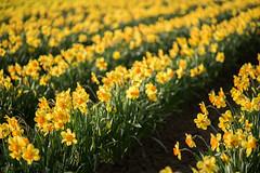 Memories (Stephanie Sinclair) Tags: daffodils skagitvalley pnw yellow flowers spring nikon zeiss memories youmakemesmile bokeh