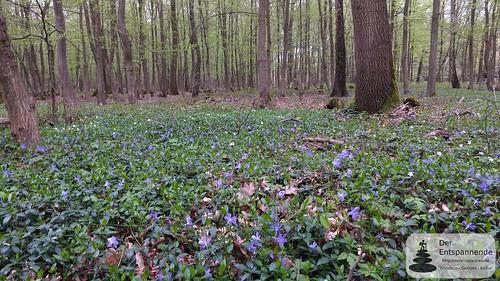 Frühlingserwachen im Ober-Olmer Wald