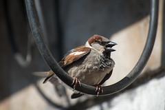 Sparrow (akk_rus) Tags: 70300mmf4556gvr nikkor70300mmf4556gifedafsvr nikkor 70300mm nikon d800 nikond800 nature bird birds птица природа sparrow воробей
