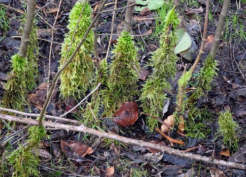 Moss Forest, Blaen Bran, Upper Cwmbran 5 March 2017