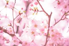 Haruiro - Nikon D3s & Nikon AF-S Nikkor 24mm f/1.4G ED (TORO*) Tags: nikon d3s af afs nikkor 24 24mm f14g f14 14 ed wakayama castle park japan bokeh blur tree plant blossom depth field pastel outdoor flower japanese sakura cherry pink