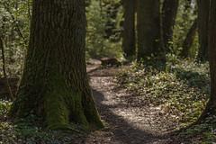 Trampelpfad (thunderbird-72) Tags: deutschland niedaltdorf saarland frühling pfad druidenpfad sonnenlicht wald rehlingensiersburg de frühlingserwachen spring awakening springawakening