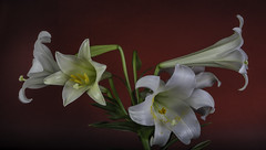 Easter Lily On A Red Background. (Bill Gracey 15 Million Views) Tags: easterlily fleur flower flor flowers flores red redbackground yongnuorf603n softbox ctogel macrolens