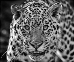 sophia 4 (jdl1963) Tags: wildlife heritage foundation big cat sanctuary carnivore endangered feline smarden kent animal sophia jaguar bw black blackandwhite mono monochrome
