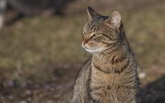 kittens (43) (Vlado Ferenčić) Tags: cats catsdogs kitty kittens animals animalplanet zagorje croatia hrvatska vladoferencic vladimirferencic nikond600 sigma15028macro