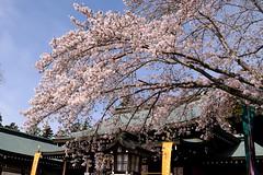 Sakura amd Shrine (kazuo0801) Tags: sakura shrine tree beautiful