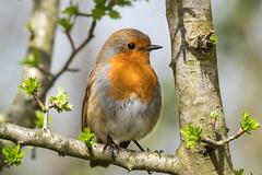 A Robin for Easter (Maria-H) Tags: robin erithacusrubecula silverdale england unitedkingdom gb leightonmoss rspb lancashire uk olympus omdem1markii panasonic 100400