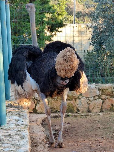 Paphos Zoo - ostrich (5)