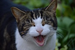 HA! (JH Stokes) Tags: cat feline animals yawn meow ha laugh photography edit