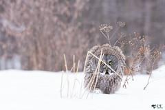 ''Camouflage!'' Chouette lapone-Greay owl (pascaleforest) Tags: owl hibou chouette oiseau bird animal faune fauna wild wildlife passion nature nikon lescèdres canada québec winter hiver snow neige camouflage prédateur predator