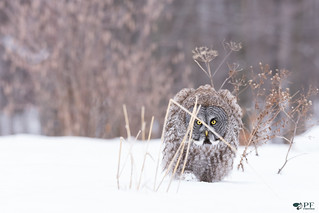 ''Camouflage!'' Chouette lapone-Greay owl