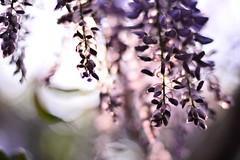(Leela Channer) Tags: wisteria bokeh nature light flower spring morning creeper purple