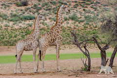 Giraffe Line up (fascinationwildlife) Tags: animal mammal giraffe pose wild wildlife nature natur national desert kgalagadi kalahari transfrontier park south africa südafrika safari summer tree red