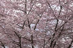Cherry Blossoms (careth@2012) Tags: flowers flower nature petals blossoms spring cherryblossoms