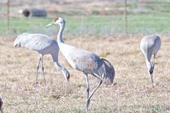 BVR_3533 (Bird Brian) Tags: sandhillcrane