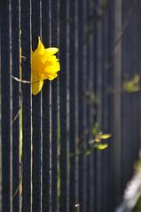Spring-HFF (nirak68) Tags: lübeck schleswigholsteinkreisfreiehansestadtlübeck deutschland ger 087365 frühling daffodil narzisse zaun fence blüte blossom flower 2017ckarinslinsede