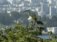 Snowy Egret Alcatraz b3198n (Al Greening) Tags: alcatraz bird egret ggnra sanfrancisco