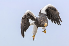 _1DX8966 Riesenseeadler (Stephan Peyer) Tags: adlerburg kintzheim raubvögel falknerei