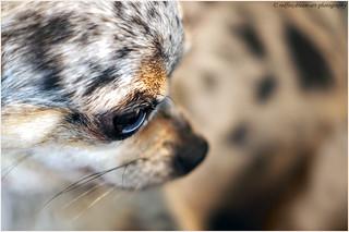 blue-merle-chihuahua-close-up
