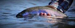 trout (Red's Fly Shop) Tags: noe net wadefishing