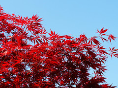 claret and blue (mark.griffin52) Tags: olympusem5 england buckinghamshire cheddington garden blue sky red leaves japanesemaple tree maple