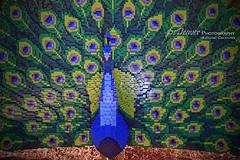 """LEGO peacock"" (eDeaver Photography) Tags: arizona phoenix animal animals nature safari park wildlife zoo landscape outdoors wild edeevo edeaver edeaverphotography digitalcreations creations nikon"