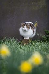 Cat In The Churchyard, Morley, Derbyshire (Geraldine Curtis) Tags: cat churchyard morley derbyshire watch gaze tabby