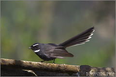White-throated Fantail (Luis Foo) Tags: whitethroated fantail pentax k70 sigma 150500mm baihualing wildlife