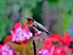 MALE RUBY THROATED  HUMMINGBIRD. (JAMES F BURNS) Tags: male ruby throated hummingbird hummers red birdsoftheworld birdsofamerica birds nature spring wildlife colorful closeup green fujifinepix fuji digital jamesburns jamesfburns james burns tiny