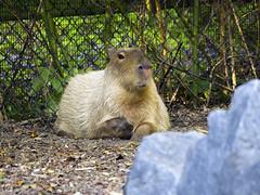 Memphis Zoo 08-31-2016 - Capybara 1 (David441491) Tags: capybara rodent memphiszoo