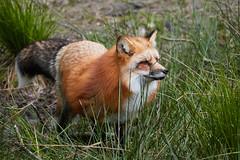 Renard roux | Redfox (jordanc_pictures) Tags: animal animals parcdesaintecroix redfox renardroux